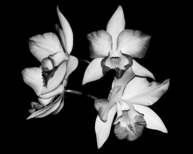 Orchid - Iwanagara Apple Blossom 'Fantastic'
