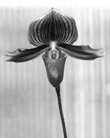 Orchid - Paphiopedilum