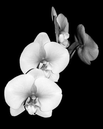 Orchid - Doritaenopsis Mount Lip