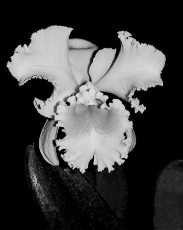 Orchid - Cattleya Jose Marti 'Mother's Favorite'