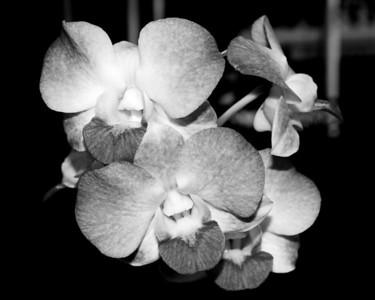 Orchid - Dendrobium