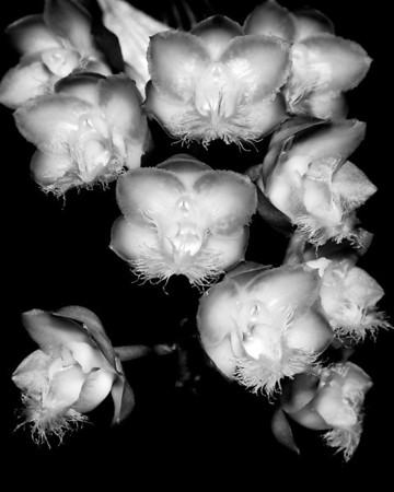 Orchid - Clowesia 'Jumbo Grace'