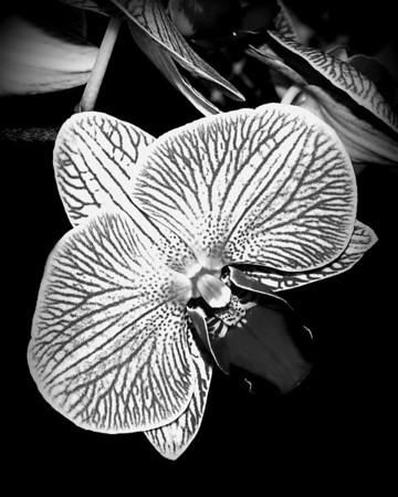 Orchid - Doritaenopsis Hausermann's Calico