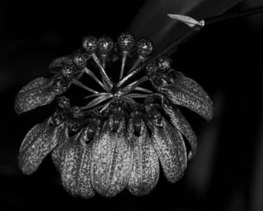 Orchid - Bulbophyllum eberhardtii