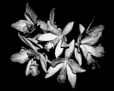 Orchid - Laeliocattleya Ken Battle