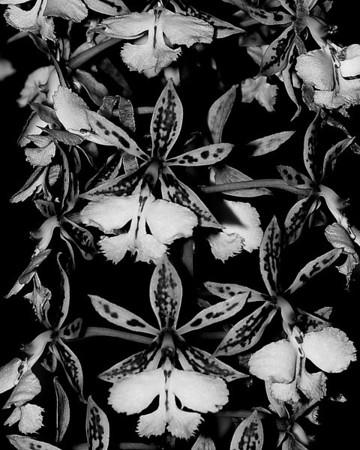 Orchid - Epidendrum stamfordianum