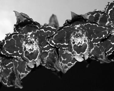 Orchid - Odontioda Helen Perlite