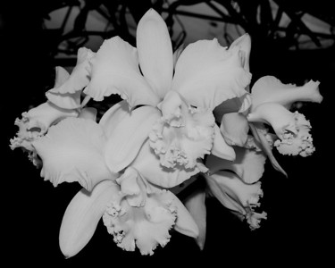 Orchid - Cattleya Clark Herman 'Chicago'