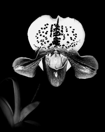 Orchid - Paphiopedilum 'Royal Grand Canyon'