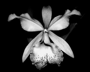 Orchid - Brassocattleya Inboriboon