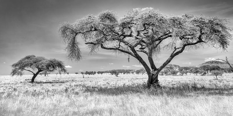 serengeti acacias