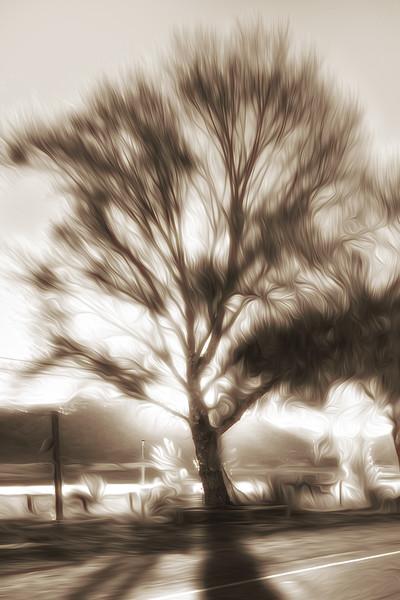 Los Alamos Cottonwood