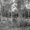 White Birch, MI 5626
