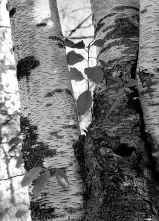 Birch Tree, Zion Beach State Park, IL