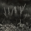 Grass, Zion Beach State Park, IL