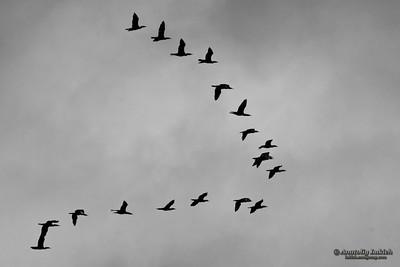 Flock of birds.