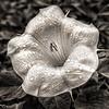 Moonflower - Sacred Datura  4517  w24