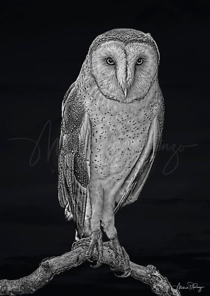 Spooky Barn Owl 6370 w60