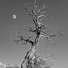 Old Snag and Moon  3904  w22