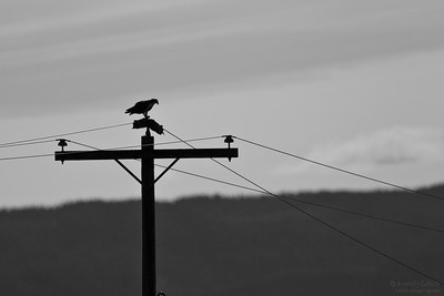 Silhouette of an osprey perched on electric pole.