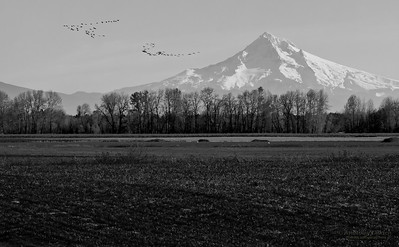 View of snow capped Mt. Hood with flock of birds and field with forest in foreground, Oregon, U.S.A.