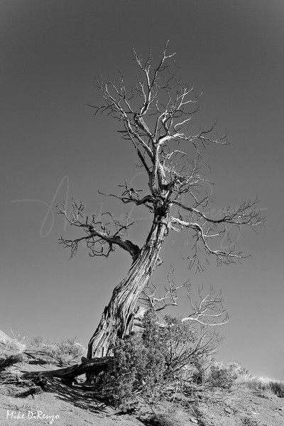 Old Snag - Infra Red  3904  w22