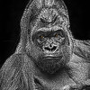 Gorilla 0378 w40