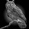 Horned Owl 6877