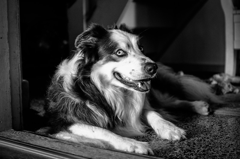 Anthony, The Border Collie