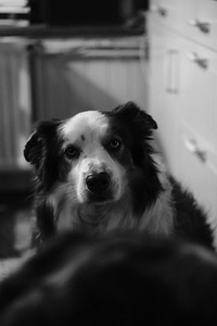 Anthony, The Border Collieg