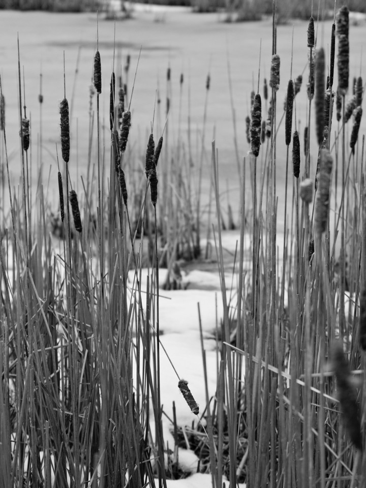 The Parting Cattails in a frozen saltmarsh at Ordione Point, NH.  Taken with manual OM 65-200 at about f5.6 or 8.