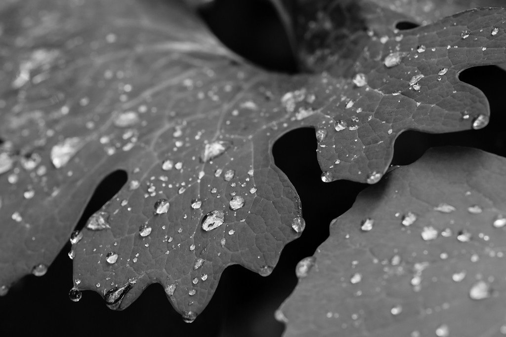 Played in these leaves with the OM 90mm macro for a while.  I don't know what they are, but damn they are photogenic!