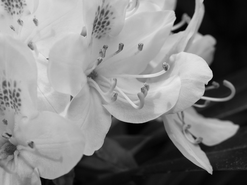 Another b&w conversion that emphasizes the shapes, textures and depth of the flower clusters.