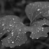 The leaves of this unknown plant just cried out for the B&W treatment.