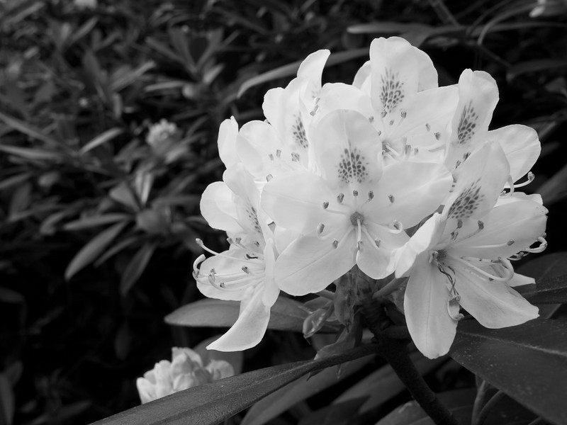 Just a basic B&W conversion is all it takes to magnify the ghostly beauty of giant rhododendrons.
