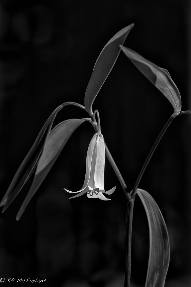 Sessile Bellwort (Wild Oats) (Uvularia sessilifolia)