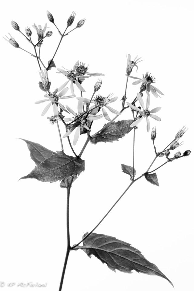 White Wood-aster (Eurybia divaricata)