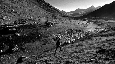 Sheep are taken to graze in the high meadows above Muguthang  village every morning.