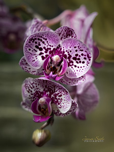 Orchid at the National Botanical Garden or Green Springs Gardens, Annandale, Virginia