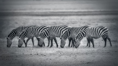 Zebras in Tanzania and Kenya and in the Ngorgoro Crater, Africa