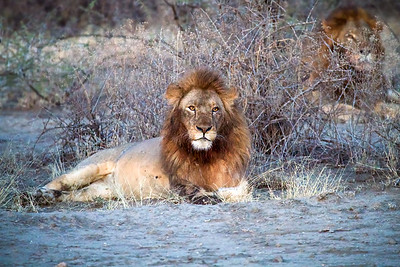 Lions and cubs on kills in Tanzania and Kenya, Africa