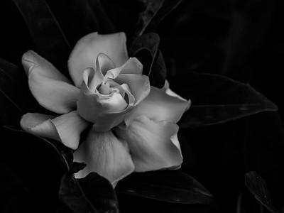 Ghost of Gardenia