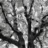 A  Spreading Chestnut Tree