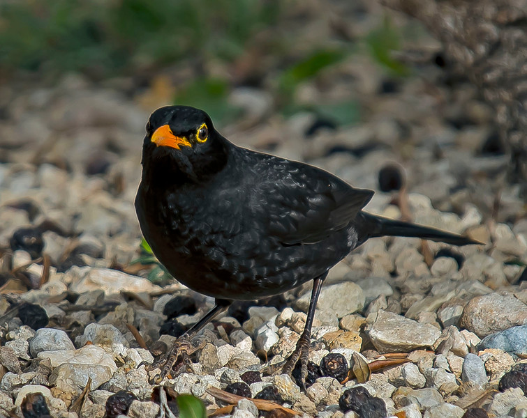Blackbird (male) Turdus merula