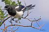 A Black-billed Magpie taken Jul 13, 2010 near Colbran, CO.