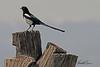 A Black-billed Magpie taken April 15, 2011 near Fruita, CO.