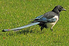 A Black-billed Magpie taken Sep 23, 2010 near Bozeman, MT.