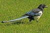 A Black-billed Magpie taken Sep 23, 2010 near Bozeman, MT.