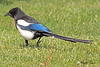 A Black-billed Magpie taken May 24, 2010 near Bozeman, MT.