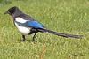 A Black-billed Magpie taken May 24, 2010 near Bozeman, MT.
